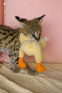 Serval (Leptailurus serval) kitten, five week old orphan carrying stuffed animal in mouth, Masai Mara Reserve, Kenya  -  Suzi Eszterhas