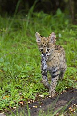 Serval (Leptailurus serval) kitten with mouse, Masai Mara Reserve, Kenya  -  Suzi Eszterhas