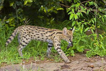 Serval (Leptailurus serval) kitten, thirteen week old orphan with mouse, Masai Mara Reserve, Kenya  -  Suzi Eszterhas