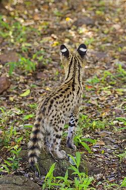 Serval (Leptailurus serval) kitten, twelve week old orphan, Masai Mara Reserve, Kenya  -  Suzi Eszterhas