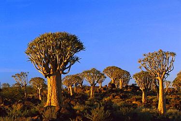 Quiver Tree (Aloe dichotoma), Kokerboom Forest, Keetmanshoop, Namibia  -  Ingo Arndt