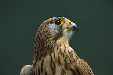 Eurasian Kestrel (Falco tinnunculus) portrait, native to Europe  -  Ingo Arndt
