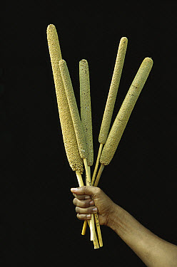 Pearl Millet (Pennisetum sp) annual grass grown as grain and animal fodder, Sahel Desert, Mali, west Africa  -  Ingo Arndt