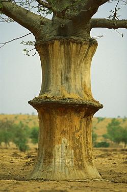 Baobab (Adansonia digitata) tree, with peeled bark used for making rope, Sahel Desert, Mali, west Africa  -  Ingo Arndt