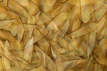 Termite (Isoptera) dropped wings after swarming, Bandiagara, Sahel Desert, Mali, west Africa  -  Ingo Arndt