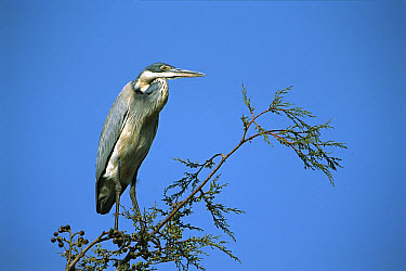 Black-headed Heron (Ardea melanocephala) perched high in tree, Rwanda  -  Ingo Arndt