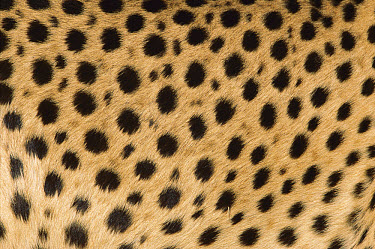 Cheetah (Acinonyx jubatus) close-up of coat showing spots, Namibia  -  Ingo Arndt