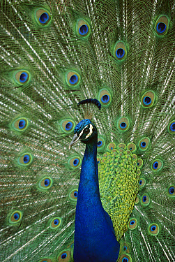 Indian Peafowl (Pavo cristatus) male in courtship display, India  -  Ingo Arndt