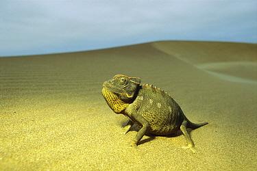 Namaqua Chameleon (Chamaeleo namaquensis) on sand dune, Namibia  -  Ingo Arndt