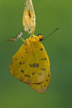 Cloudless Sulphur butterfly (Phoebis sennae) emerging from chrysalis, Costa Rica  -  Ingo Arndt