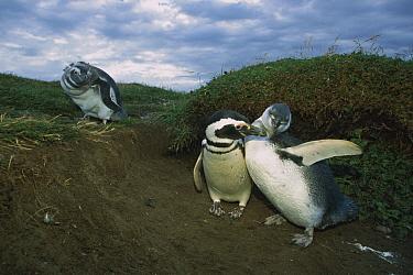 Magellanic Penguin (Spheniscus magellanicus) adult and juveniles, Patagonia, Chile  -  Ingo Arndt