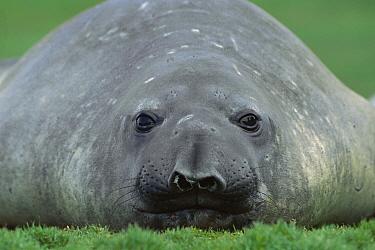 Southern Elephant Seal (Mirounga leonina) female laying in grass, South Georgia Island  -  Ingo Arndt