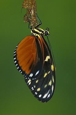 Zebra Butterfly (Heliconius charitonius) emerging from chrysalis, Costa Rica  -  Ingo Arndt