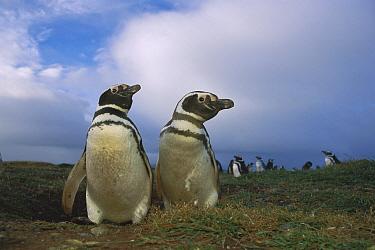 Magellanic Penguin (Spheniscus magellanicus) couple in nesting colony, Patagonia, Chile  -  Ingo Arndt