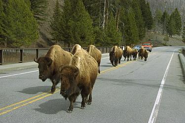 American Bison (Bison bison) group walking on highway, Yellowstone National Park, Wyoming  -  Ingo Arndt