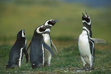 Magellanic Penguin (Spheniscus magellanicus) male calling in front of neighbors, Seno Otway, Patagonia, Chile  -  Ingo Arndt