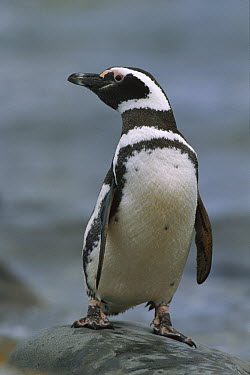 Magellanic Penguin (Spheniscus magellanicus) portrait, Seno Otway, Patagonia, Chile  -  Ingo Arndt
