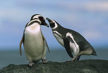 Magellanic Penguin (Spheniscus magellanicus) couple, Seno Otway, Patagonia, Chile  -  Ingo Arndt