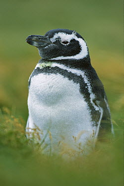 Magellanic Penguin (Spheniscus magellanicus) juvenile, Seno Otway, Patagonia, Chile  -  Ingo Arndt