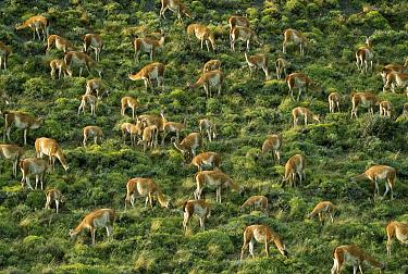 Guanaco (Lama guanicoe) group feeding, Torres del Paine National Park, Patagonia, Chile  -  Ingo Arndt