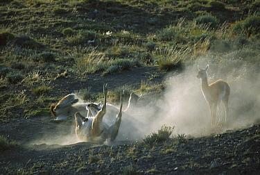 Guanaco (Lama guanicoe) sand bathing, Torres del Paine National Park, Patagonia, Chile  -  Ingo Arndt