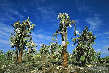 Opuntia (Opuntia echios) cactus Santa Cruz Island, Galapagos Islands, Ecuador  -  Ingo Arndt
