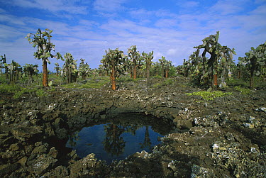 Opuntia (Opuntia echios) cactus and water pool, Santa Cruz Island, Galapagos Islands, Ecuador  -  Ingo Arndt