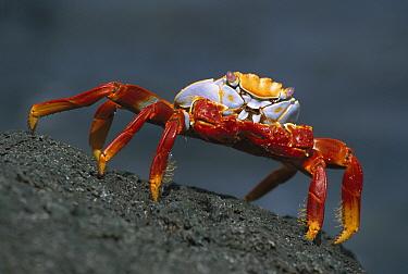 Sally Lightfoot Crab (Grapsus grapsus) on rocks, Santiago Island, Galapagos Islands, Ecuador  -  Ingo Arndt