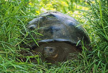 Indefatigable Island Tortoise (Chelonoidis porteri) in grass, Santa Cruz Island, Galapagos Islands, Ecuador  -  Ingo Arndt