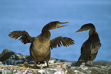 Flightless Cormorant (Phalacrocorax harrisi) pair at nest site, Fernandina Island, Galapagos Islands, Ecuador  -  Ingo Arndt