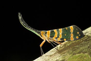 Lantern Bug (Fulgora laternaria) profile, Selangor, Malaysia  -  Ingo Arndt