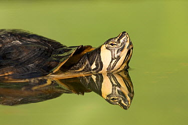 Yellow-bellied Slider (Trachemys scripta scripta) in pond, North America  -  Ingo Arndt