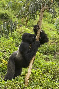 Mountain Gorilla (Gorilla gorilla beringei) silverback stripping bark from a Eucalyptus tree to reach the sap, Rwanda  -  Ingo Arndt