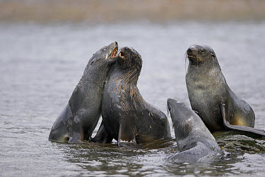 Antarctic Fur Seal (Arctocephalus gazella) group play-fighting, South Georgia Island  -  Ingo Arndt