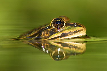 Edible Frog (Rana esculenta) reflected in pond, Germany  -  Ingo Arndt