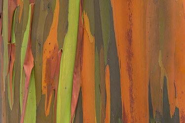 Gum Tree (Eucalyptus sp) bark detail, Costa Rica  -  Ingo Arndt