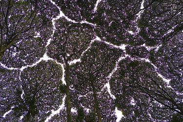 Kapur (Dryobalanops lanceolata) forest showing crown shyness, Selangor, Malaysian Peninsula  -  Ingo Arndt