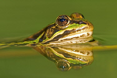 Edible Frog (Rana esculenta) with reflection in pond, Germany  -  Ingo Arndt