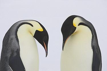 Emperor Penguin (Aptenodytes forsteri) pair courting on ice floe, Weddell Sea, Antarctica  -  Ingo Arndt