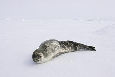 Weddell Seal (Leptonychotes weddellii) subadult resting on ice floe, Weddell Sea, Antarctica  -  Ingo Arndt