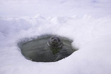 Weddell Seal (Leptonychotes weddellii) in breathing hole, Weddell Sea, Antarctica  -  Ingo Arndt