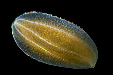 Ctenophore (Beroe cucumis) showing typical symmetrical combs made of cilia, Weddell Sea, Antarctica  -  Ingo Arndt
