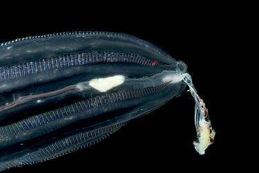 Comb Jelly (Callianira antarctica) eating Antarctic Krill, Weddell Sea, Antarctica  -  Ingo Arndt