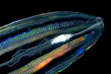 Comb Jelly (Callianira antarctica) eating Antarctic Krill showing bioluminescent cells, Weddell Sea, Antarctica  -  Ingo Arndt