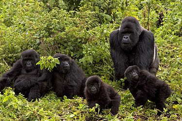 Mountain Gorilla (Gorilla gorilla beringei) Susa group showing male silverback, two females and two juveniles, Parc National Des Volcans, Rwanda  -  Ingo Arndt