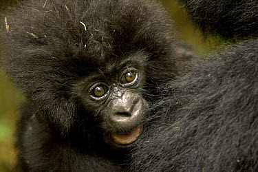 Mountain Gorilla (Gorilla gorilla beringei) baby, Parc National Des Volcans, Rwanda  -  Ingo Arndt