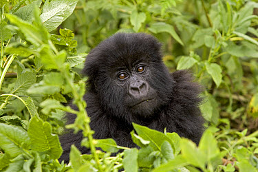 Mountain Gorilla (Gorilla gorilla beringei) juvenile, Parc National Des Volcans, Rwanda  -  Ingo Arndt