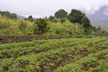 Farmland along the border of Parc National Des Volcans, Rwanda  -  Ingo Arndt