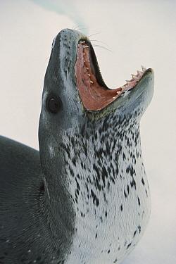 Leopard Seal (Hydrurga leptonyx) barking, Weddell Sea, Antarctica  -  Ingo Arndt