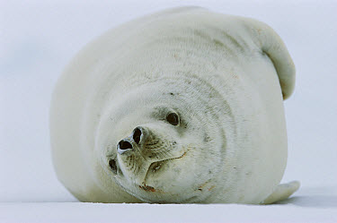 Crabeater Seal (Lobodon carcinophagus) laying on side in snow, front view, Weddell Sea, Antarctica  -  Ingo Arndt